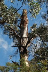 A 300-year-old mountain ash that has Leadbeater's possum nesting hollows.