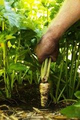 Harvesting fresh near organic vegetables and fruit from the vegetable garden.