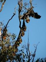 Black Headed flying fox among Grey Headed colony.