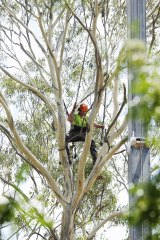 A worker cuts down a tree at Pitt Town Public School.