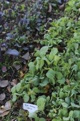 Blue curled kale seedlings.