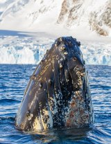 A humpback whale breaches in Antarctic waters.