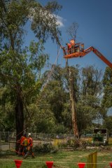 Tree removal works begin on Northbourne Avenue in December. Plans to remove the rest of the trees have been brought forward, with all of the trees to come down by March.