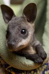 Baby swamp wallaby Illawarra is one of many animals Lindy Butcher has taken under her wing.