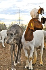 Stray dogs are being trained to protect farmers' livestock from cheetahs.
