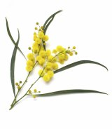 September 1 became National Wattle Day in 1992.