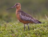 Environment Minister Josh Freydenberg asked to protect the vulnerable bar-tailed godwit from Russia at Toondah Harbour at Cleveland in international wetlands.