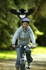A cyclist is harassed by a swooping magpie.