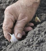 Participants in the program will be taught how to plant garlic and then tend their crops.