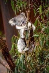 Healesville Sanctuary has opened a new tree-top koala walk. Hazel the Koala.