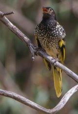 The Australian regent honeyeater is at extreme risk.