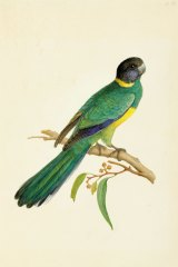 Barnardius zonarious (Port Lincoln ringneck, Psittaculidae), finished watercolour by Ferdinand Bauer.