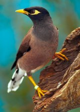 Brisbane City Council has a control program in place for the common myna bird.