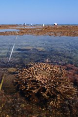 Corals like these might help save other reefs.