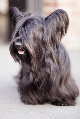 """A Skye terrier: They're """"big boofheads,"""" says breeder Julie Cartledge."""