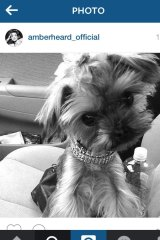 One of the Yorkshire terriers belonging to Johnny Depp and Amber Heard.