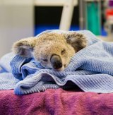 The koala, a young male coming into his first breeding season, was attacked about 2.30am on Tuesday at Petrie, but the dog's owners did not contact the RSPCA until 7.30am.