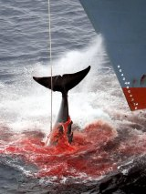 A whale is killed by a harpoon in the Southern Ocean off Antarctica.