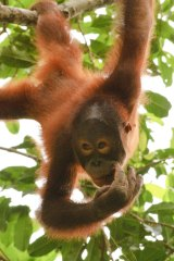 Orangutan habitats are being wiped out because of palm oil production.