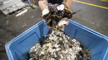 The initiative collects discarded oyster shells from the market and uses them to restore the shellfish reefs of Port Philip Bay.