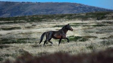 A wild stallion on the Bogong High Plains.