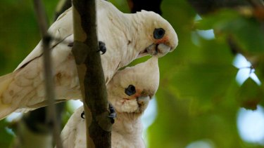 409 Little Corella were killed last year, but 8910 were permitted to be killed.