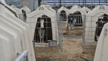 Calves in kennels at a dairy farm in China.