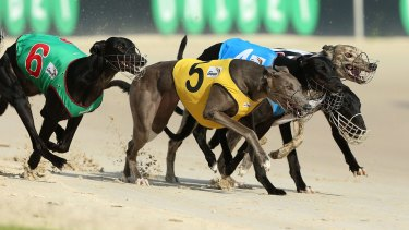 Time running out: greyhounds racing at Richmond in Sydney.