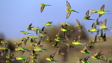 A university study has shown budgerigars avoid collision by always veering right.