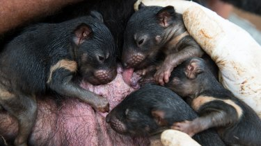 Four-month-old Tasmanian devil joeys in their mother's pouch at Devil Ark in the Barrington Tops.