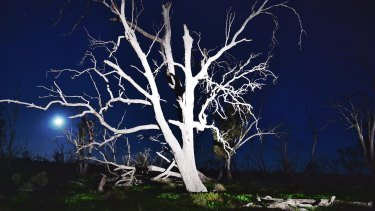 Ghostly: Decades of river regulation and the drying climate have devastated the wetland forests.