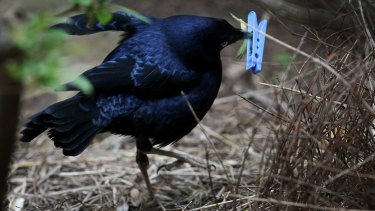 A satin bower bird collects a blue peg.