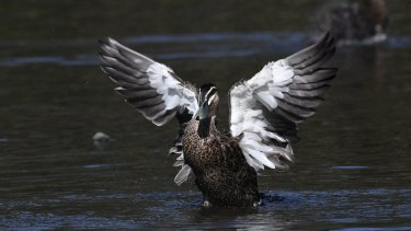 A Pacific Black duck.