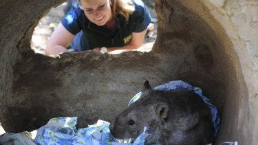 Winnie, the wombat, snuggles up with a blanket or two under the watchful eye of senior wildlife keeper Renee Osterloh.