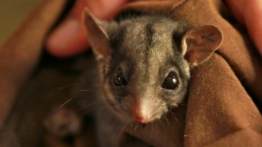 On the way out: A Leadbeater's possum.