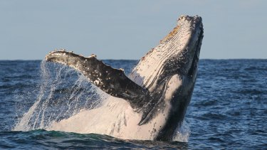 A humpback whale puts on a show for crowds off the heads of Sydney.