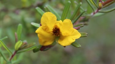 Bordered guinea flower (Hibbertia marginata).