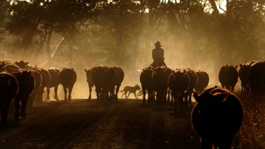 Victorian cattleman Craig Porter takes his cattle for grazing on the roadside due to the 2007 drought.