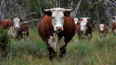 Controversial: Cattle grazing in the Alpine National Park.