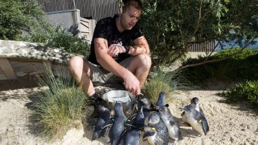 Little penguins are fed by zoo keeper James Uren at the Melbourne Zoo in 2012.