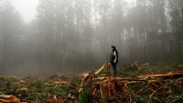 A logging coupe in the Toolangi State Forest in Victoria's central highlands.