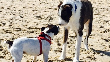 Maudie, left, susses out another dog at the off-leash dog beach.