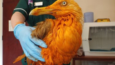 A seagull ended up covered in curry sauce near Gloucestershire in Britain.