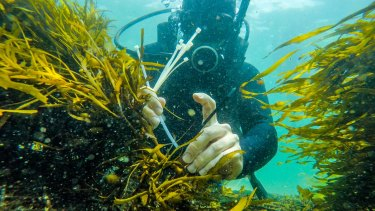 A UNSW researcher plants crayweed off the coast near Malabar.