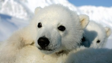 Scientists fear compounding problems are making it difficult for polar bears to reproduce.