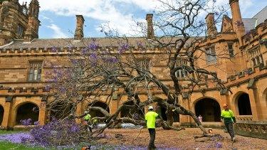 The fallen jacaranda tree inside Sydney University's south-eastern quadrangle.