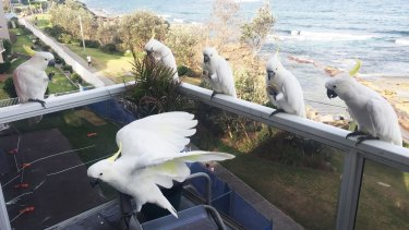 We have company: Cockatoos drop in on an apartment in Cronulla.