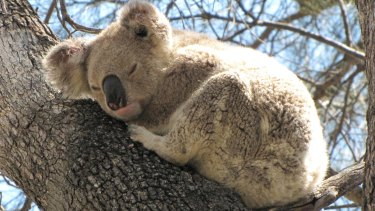 Koalas are among the many species facing habitat loss as the NSW government prepares new land-clearing codes.
