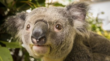 281 koalas have died in Brisbane's northern suburbs during the project to build a rail line from Petrie to Kippa Ring.