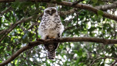 The powerful owl is one of the species that opponents of the proposed retirement village fear will be affected.